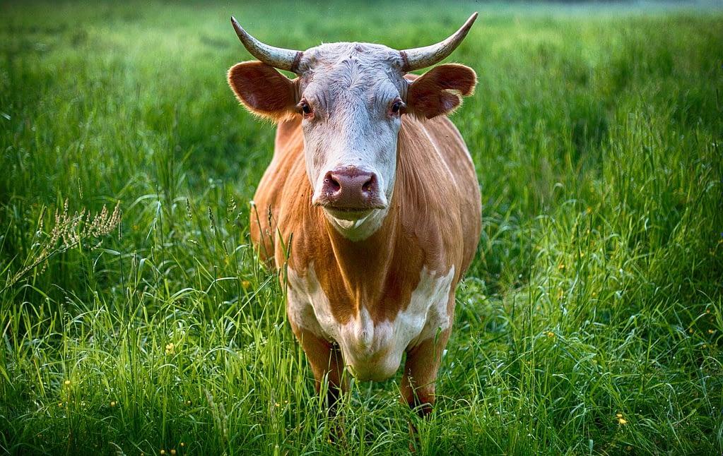 bull, cow, animal